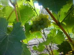 Grape (jeanette.horvath //Jeanne//) Tags: summer green nature garden gardening wildlife grape