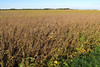 Waving fields of Soy (Lunken Spotter) Tags: columbus ohio food plants plant nature rural landscape landscapes natural farm farming farmland crop oh farms crops growing soy agriculture plantae soybeans franklincounty ruralohio centralohio ohiofarming