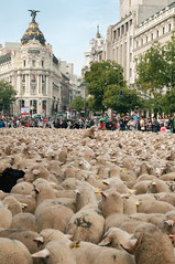Fiesta trashumancia Madrid. ¿Alguien ha visto a la oveja con la que venia? (thaisa1980) Tags: madrid sheep flock tradition tradición 2014 ovejas rebaño metropoli trashumancia pastoreo cañadareal