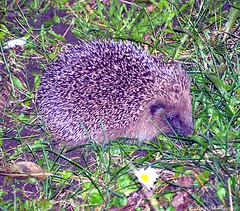 Hedgehog (Simon Dell Photography) Tags: uk winter england baby sheffield hedgehog mammals spiny subfamily erinaceinae hoglet
