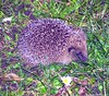 Hedgehog (Simon Dell Photography) Tags: uk winter england baby sheffield hedgehog mammals spiny subfamily erinaceinae hoglet