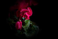Alpenveilchen (lucianomandolina) Tags: flowers red plants flower green rot fall pflanzen blumen sheets grün blume blatt blätter busch alpenveilchen zimmerpflanzen masterphotos