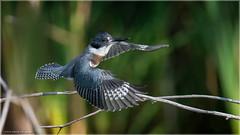 Belted Kingfisher 3 (Chris Lue Shing) Tags: summer ontario canada tree bird nature action flight aurora newmarket bif beltedkingfisher birdinflight mckenziemarsh nokiidaatrail nikond7100 tamronsp150600mmf563divcusd chrislueshing