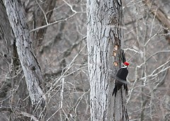 "Pileated Woodpecker • <a style=""font-size:0.8em;"" href=""http://www.flickr.com/photos/92887964@N02/15860426767/"" target=""_blank"">View on Flickr</a>"