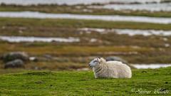 Sheep (Steinar Eilers) Tags: sheep 7d 400mm listafyr listalighthouse