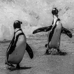 Cape Town   |   Penguins (JB_1984) Tags: penguin africanpenguin jackasspenguin wave beach tablemountainnationalpark blackandwhite bw mono squareformat simonstown boulders seaforth capepeninsula capetown westerncape rsa southafrica nikon d7100 nikond7100 explore explored