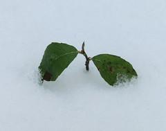Pflanze_im_Schnee
