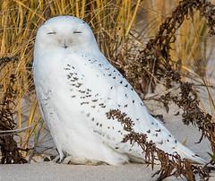 Snowy Owl - Jones Beach - West End (Rcasarona) Tags: winter white snow bird beach jones sand snowy owl artic owls