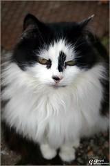 FAUVETTE D'ARCINGES (Gilles Poyet photographies) Tags: animal chat loire soe autofocus rhônealpes aplusphoto artofimages paysroannais rememberthatmomentlevel1 arcinges