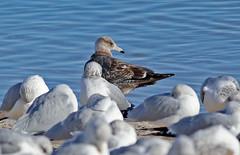 Herring Gull (1krispy1) Tags: gulls herringgull coloradobirds