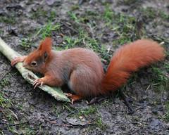 RED SQUIRREL (SCIURUS VULGARIS), BRITISH WILDLIFE CENTRE. (Gary K. Mann) Tags: red england canon squirrel wildlife centre deer british antler vulgaris sciurus