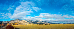 Nevada cattle on a Winter morning (JustinMDworak) Tags: ranch christmas winter mountain david hot tree clouds carson photography nikon december cattle d pano nevada tahoe panoramic nv genoa f springs valley 28 mm nikkor f8 pana 3100 walley 2014