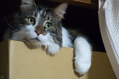 DSC_6753.jpg (d3_plus) Tags: pet cats animal japan tokyo daily 日本 東京 ペット 猫 dailyphoto kawasaki 動物 ねこ j4 thesedays 川崎 日常 maon ニコン nikon1 1nikkorvr10100mmf456 ニコン1 nikon1j4 マオン