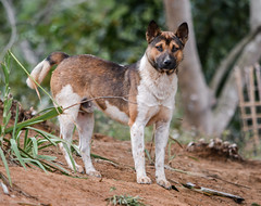 Silent but strong (Istiak Ahmed Saikot) Tags: dog look animal nikon natural silence strong curious d5200