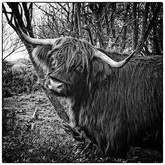 (daniel.stark) Tags: animal rind highlandcattle tier kyloe schottischeshochlandrind