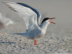 "The scream (v4vodka) Tags: bird nature wildlife birding tern birdwatching seabird rybitwa ""commontern"" ""sternahirundo"" ""rybitwazwyczajna"""