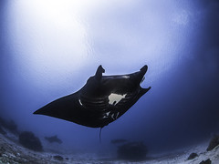 Manta Ray at Manta Sandy (mrubenstein01) Tags: fish coral indonesia ray underwater scuba diving reef manta liveaboard rajaampat coraltriangle dewinusantara