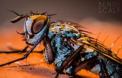 fly ( ID needed please ) - 105mm macro (ben.scalf) Tags: ohio macro nature animal bug insect fly nikon outdoor cincinnati wildlife science micro dslr biology d3200