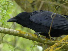 Carrion Crow (ukstormchaser (A.k.a The Bug Whisperer)) Tags: uk trees tree birds animals afternoon wildlife may perched crow milton keynes carrion crows corvid