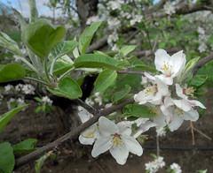 McIntosh apples (msuanrc) Tags: fruit mcintosh may2 fullbloom mcintoshapples