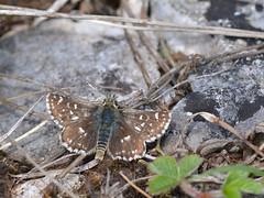 Kalkgraslanddikkopje (diederickmeinen) Tags: vlinders