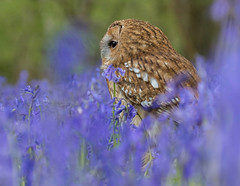 Just a glimpse. (Chris Sweet 85) Tags: nature bluebells nikon owl bwc tawnyowl earthnaturelife nikond7100