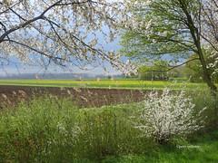 15-IMG_3205 (hemingwayfoto) Tags: landwirtschaft wolken blte baum wetter busch blhen weis