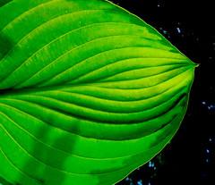 Cosmic Green (Earthlandia) Tags: plant green leaf cosmic