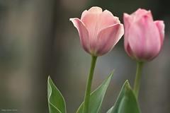 The Tulip Era (oskaybatur) Tags: pink flower closeup turkey spring dof pentax bokeh trkiye tulip april ricoh nisan bolu 2016 turkei lale ilkbahar justpentax pentaxda55300mmf458ed pentaxart pentaxk3 oskaybatur