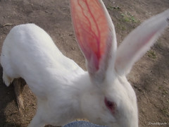 Attack  -  (snakecats) Tags: rabbit hokkaido     yunigarden    yunicho
