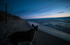Stewie's first time (pooshda) Tags: sunset dog pet holland beach water beauty wonder bostonterrier michigan sony shoreline lakemichigan lakeshore amazement awe greatlake 14mm rileybeach rokinon a7rii