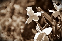 Narcissus and bokeh (Arnzazu Vel) Tags: naturaleza flower nature sepia monocromo bokeh flor fiore narciso narcissus