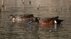 Chestnut Teal (Byron Taylor) Tags: nature water birds canon teal wildlife australia southpacific nsw chestnut waterfowl wildfowl chestnutteal australiasia canon7d