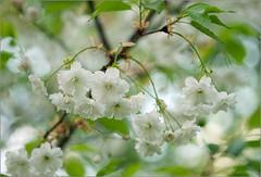 Plum (tehhyvredina) Tags: flowers macro garden cherry spring blossom bokeh moscow plum cherryblossom botanicgarden     canonef100mmf28usmmacro prunusserrulata   apothecarygarden  fujifilmxe1
