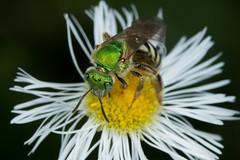 Halictid Bee - Agapostemon splendens (TDotson) Tags: macro canon insects bee agapostemon splendens halictidbee insectmacro macrolicious halictid agapostemonsplendens macromondays macromonday canon70d