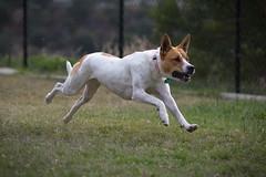 Sadie (BorrowedLightPhoto) Tags: dog backyard sadie running intheair chasingtheball