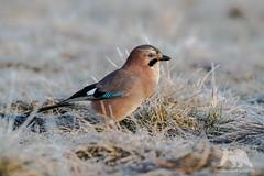 European Jay (fascinationwildlife) Tags: winter wild cold bird nature field animal frost european jay wildlife natur poland polen vogel eichelhher