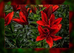 Lilies  in red .... (scorpion (13)) Tags: red summer plant color nature garden creative lilies frame raindrops buds photoart
