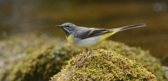 I bought a bag hide (nick edge) Tags: mountains bird nature wales river nikon wildlife wagtail naturephotography greywagtail birdphotography britishbirds wildlifephotography nikon300mmf4afs ukbirds llynyfan nikond7100 nickedge