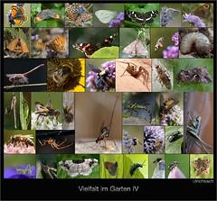 _DSC8368 (Weinstckle) Tags: spinne admiral makro libelle insekt fliege schmetterling kfer biene hummel kreuzspinne wespe heupferd landkrtchen motte taubenschwnzchen blaugrnemosaikjungfer erdhummel holzbiene distelfalter kleinerperlmutterfalter kleinerfeuerfalter raupenfliege gammaeule himmelblauerbluling gemeineheidelibelle riesenschlupfwespe gemeinewinterlibelle nierenfleckzipfelfalter tintenfleckweisling wiesenschnake rotbraunesochsenauge kleineswiesenvgelein ptinomorphusimperialis hellfarbenernagekfer kleinermalvendickkopf rosenkferlarve gewhnlichestrauschrecke