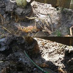 New fence, old root and a broken sprinkler line. #lincolnunderground #lnk #sprinklers #roots #waterline #makeitright (Lincoln Underground Sprinkler Systems Inc.) Tags: underground systems sprinkler lincoln inc instagram