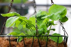 homegrown radish (letizia.lorenzetti) Tags: radish homegrown rettich vegi radieschen radisli
