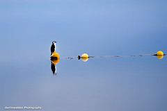 Shag on a bout. (darrinwalden Photography) Tags: cormorant bird bouy lake australia wildlife reflection buoyant
