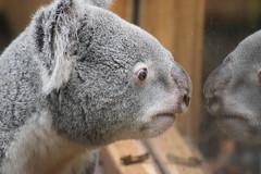 """Man in the mirror"" (WarmYeti) Tags: cute nature animal outside outdoors zoo scotland edinburgh koala koalabear edinburghzoo"