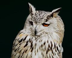 Buho Siberiano. (hajavitolak) Tags: sinespejo mirrorless milc csc evil fullframe fx sony sonya7ii sonya7m2 ilce7m2 a7 captureone tamron 70200 28 cabrceno aves rapaces nocturnas buhosiberiano buho siberiano bird rapacius