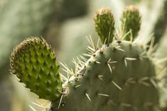 Pero con cuidado (Gayoausius) Tags: cactus plant planta mxico nopal espinas nopalera 7dwf