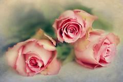 three roses (Ani Carrington) Tags: pink roses stilllife flower macro rose petals soft stillife textured