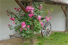 Roses Parking (lady_sunshine_photos) Tags: alteswagerl museumvillageniedersulz museumsdorfniedersulz ladysunshine weinviertel at loweraustria niedersterreich austria europe rosenblte rosenstock roseparking