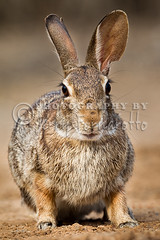 Cottontail Rabbit No 1 (Jerry Fornarotto) Tags: wild brown cute rabbit bunny nature animal closeup easter fur mammal outdoors furry hare sitting desert natural wildlife adorable fluffy ears telephoto northamerica creature isolated zoology cottontail wildlifephotography smallgame jerryfornarotto