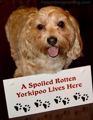 A Spoiled Rotten Yorkipoo Lives Here (yourdesignerdog) Tags: dog pets cute dogs smiling tongue wednesday out photography blog day all designer wordpress anniversary rotten posts gotcha spoiled adoption wordless ifttt